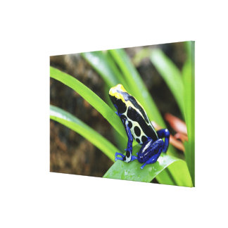 Close-up of Costa Rican Cobalt Dyeing Dart Frog Canvas Print