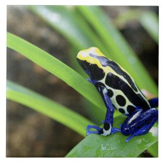 Close-up of Costa Rican Cobalt Dyeing Dart Frog Ceramic Tile