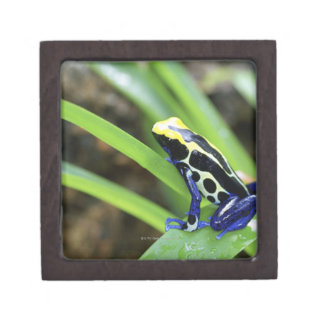 Close-up of Costa Rican Cobalt Dyeing Dart Frog Jewelry Box