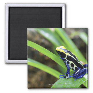 Close-up of Costa Rican Cobalt Dyeing Dart Frog Magnet