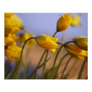 Close-up of daffodils poster