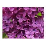 close up of dark purple lilac postcards