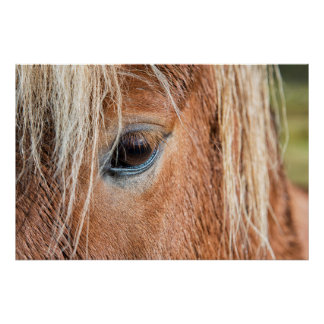 Close-up of eye and head of Icelandic horse Poster