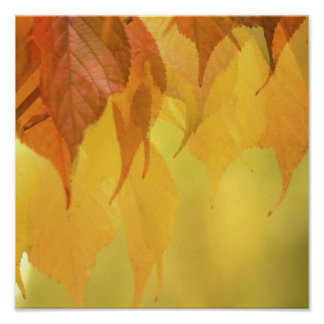 Close-up of Fall Leaves on a Branch Poster