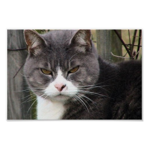 Close-Up Of Fat Black Tabby Cat With Brown Eyes Poster