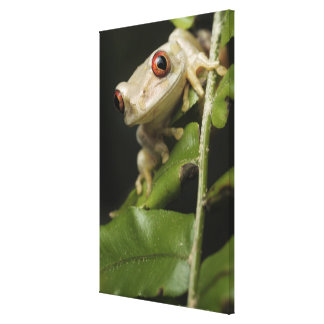 Close up of Forest Tree Frog (Leptopelis Canvas Print