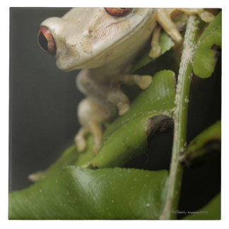 Close up of Forest Tree Frog (Leptopelis Large Square Tile