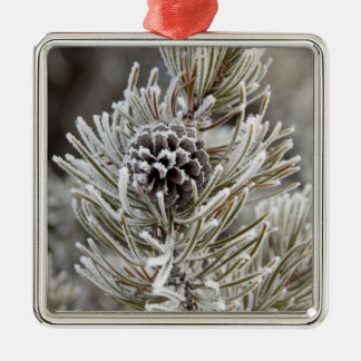 Close-up of frozen pine cone, Yellowstone Christmas Tree Ornaments