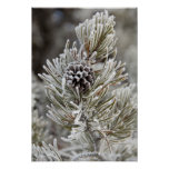 Close-up of frozen pine cone, Yellowstone Posters