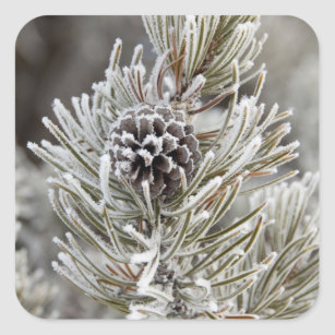 Close-up of frozen pine cone, Yellowstone Square Sticker