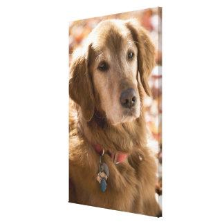 Close up of golden labrador retriever dog gallery wrapped canvas