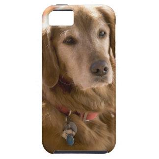 Close up of golden labrador retriever dog iPhone 5 cases