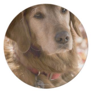 Close up of golden labrador retriever dog plates