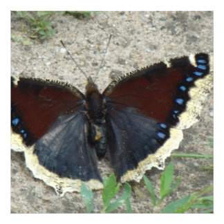 Close up of Gorgeous Mourning Cloak Butterfly Photo Print