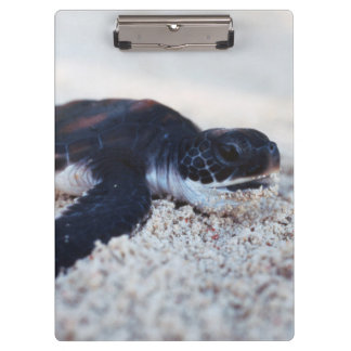 Close-Up of green sea turtle hatchings 1 Clipboard