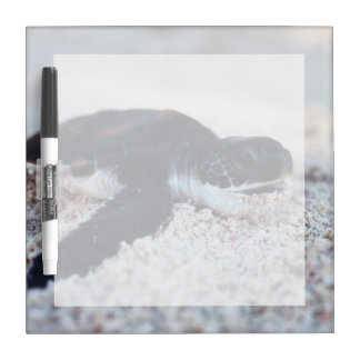 Close-Up of green sea turtle hatchings 1 Dry Erase Board