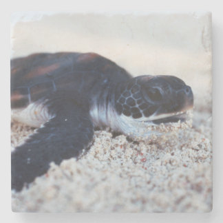 Close-Up of green sea turtle hatchings 1 Stone Coaster