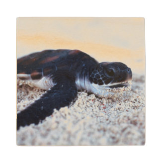 Close-Up of green sea turtle hatchings 1 Wood Coaster