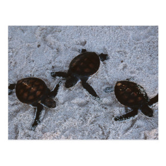Close-Up of green sea turtle hatchings 2 Postcard