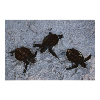 Close-Up of green sea turtle hatchings 2 Poster