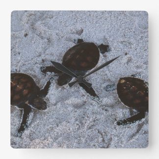 Close-Up of green sea turtle hatchings 2 Square Wall Clock