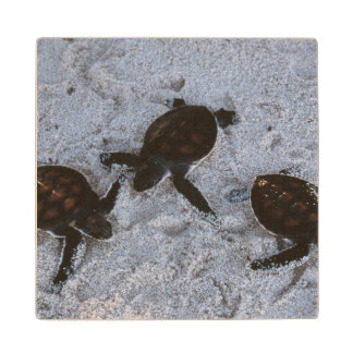 Close-Up of green sea turtle hatchings 2 Wooden Coaster