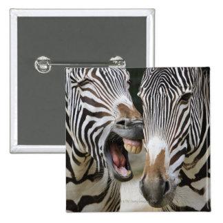 close-up of head of zebras, Equus Sp., Berlin Button