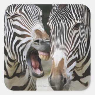 close-up of head of zebras, Equus Sp., Berlin Square Sticker