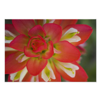 Close-up of Indian Paint Brush near Gay Hill, Photo Print