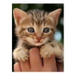 Close Up Of Kitten Postcard