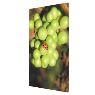 Close up of lady bug on green Pinot Noir grapes Canvas Print