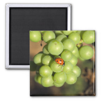 Close up of lady bug on green Pinot Noir grapes Magnet