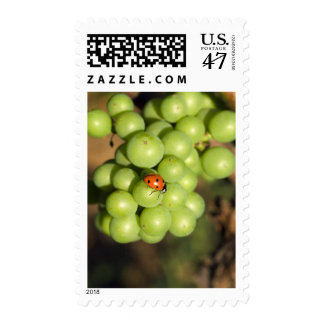 Close up of lady bug on green Pinot Noir grapes Postage