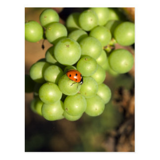 Close up of lady bug on green Pinot Noir grapes Post Card