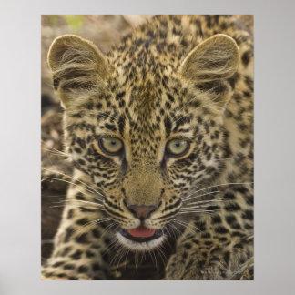 Close up of Leopard, Greater Kruger National 2 Poster