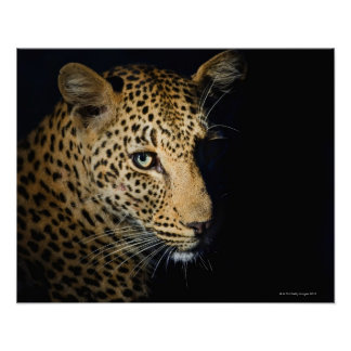 Close up of Leopard, Greater Kruger National Posters