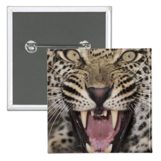 Close up of leopard growling button