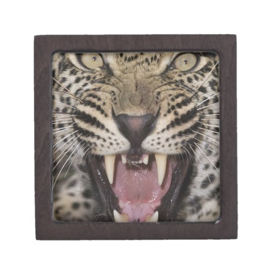 Close up of leopard growling keepsake box
