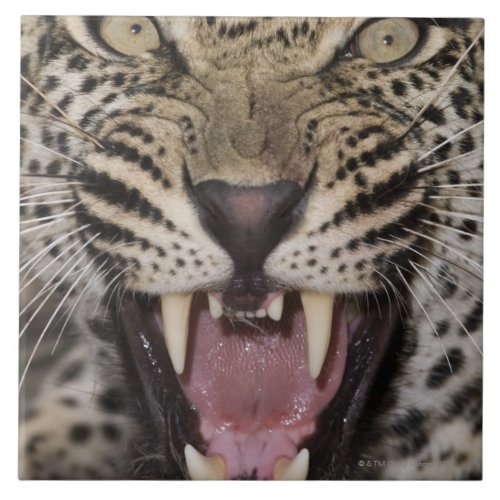 Close up of leopard growling tile