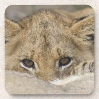 Close up of lion cub's face coaster