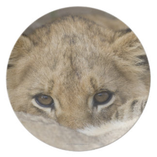 Close up of lion cub's face plate