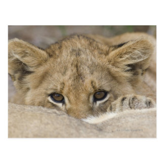 Close up of lion cub's face post cards