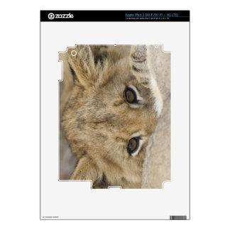 Close up of lion cub's face iPad 3 skins