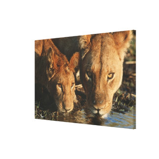 Close up of Lioness (Panthera leo) and cub Canvas Print
