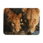 Close up of Lioness (Panthera leo) and cub Rectangular Magnets