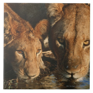 Close up of Lioness (Panthera leo) and cub Tile