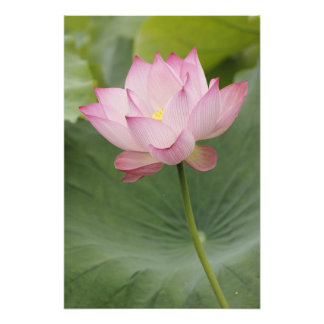 Close up of Lotus flower, Nelumbo nucifera), Photo Art
