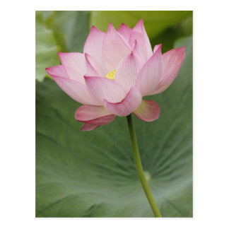 Close up of Lotus flower, Nelumbo nucifera), Postcard