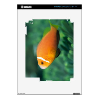 Close up of Maldives anemone fish, Maldives 2 iPad 3 Skin