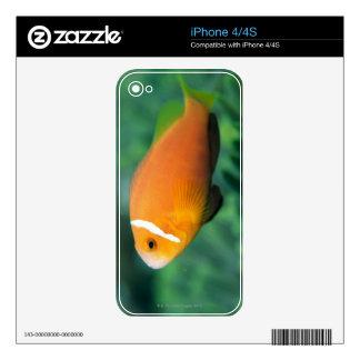 Close up of Maldives anemone fish, Maldives 2 iPhone 4 Skins